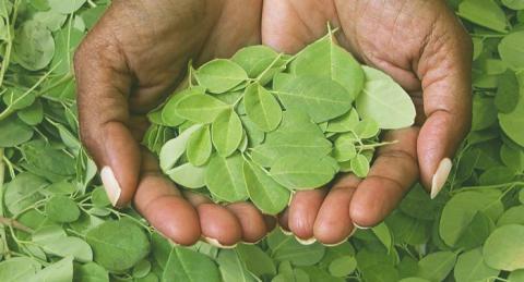 La moringa; la planta de la eterna juventud gracias a sus beneficios y cómo consumirla