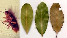 Solo colocando algunas hojas de esta planta en cada rincón de tu casa y dile adiós a las cucarachas.!!